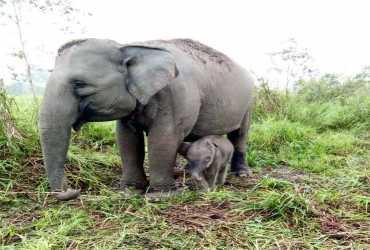 Satu ekor anak Gajah Sumatera (Elephas maximus sumatranus) kembali lahir secara alami