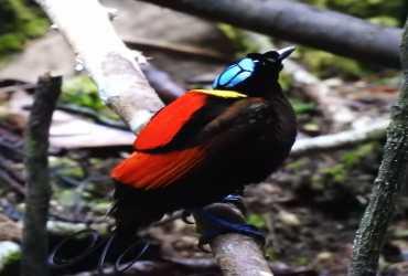 Burung Cendrawasih Botak (Cicinnurus respublica)