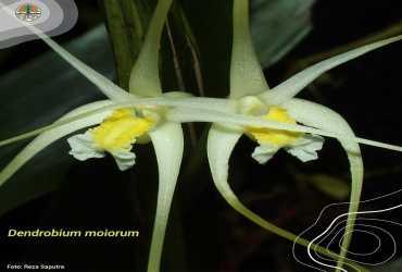 Dendrobium moiorum
