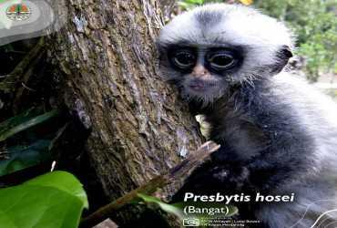 Presbytis hosei (Hose's langur)