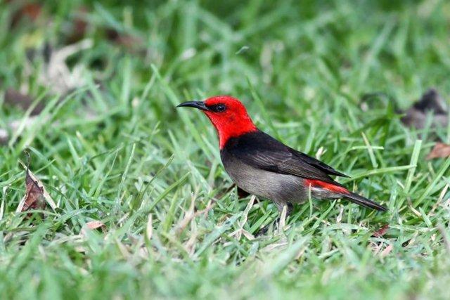 Burung Isap Madu Rote, Maskot Hari Cinta Puspa dan Satwa Nasional 2019