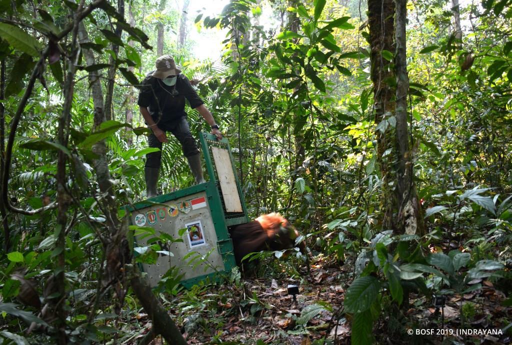 Tujuh Belas Orangutan Kembali ke Habitatnya di Taman Nasional Bukit Baka Bukit Raya