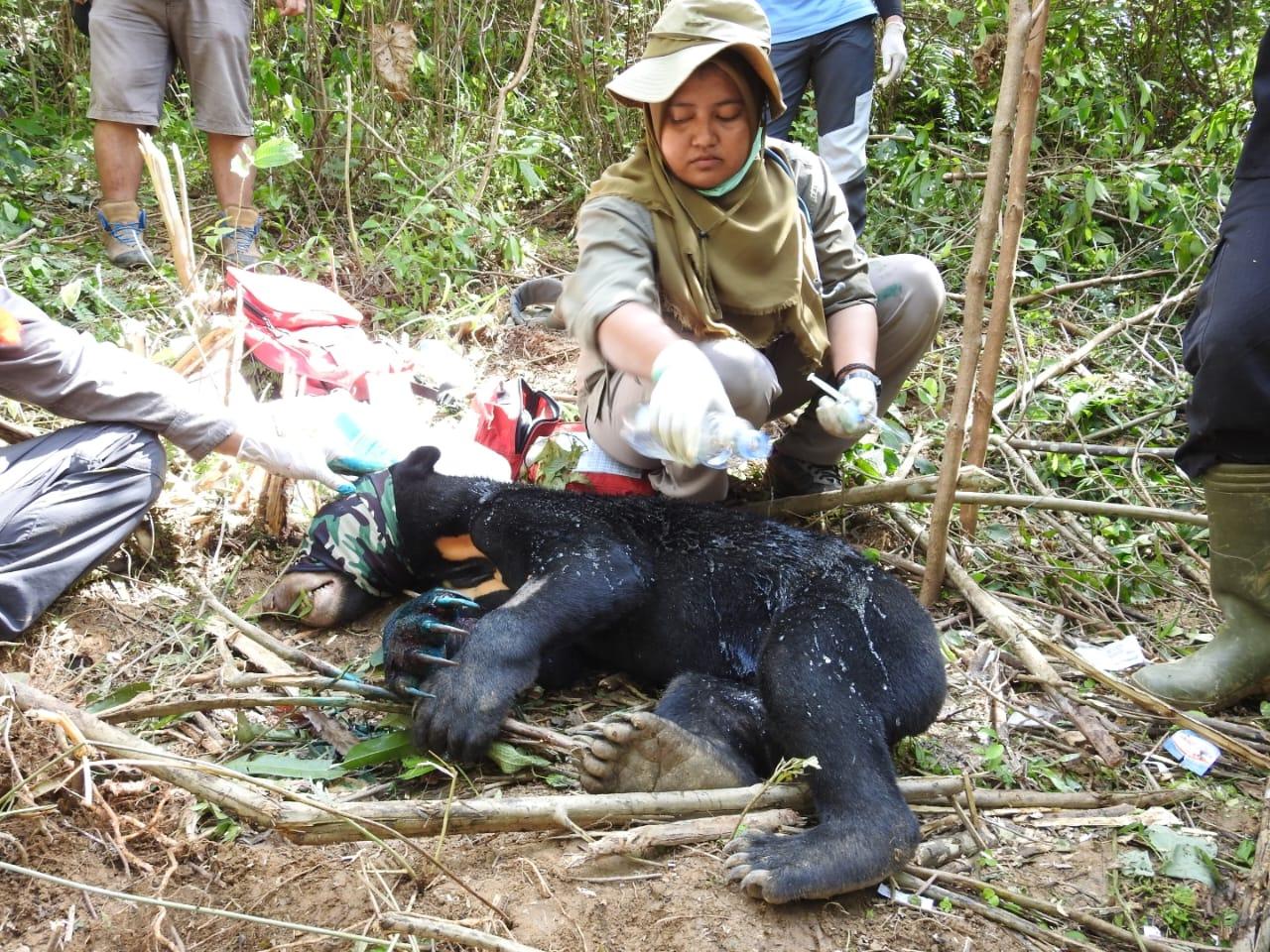 Mengawali Tahun 2020, BBKSDA Sumatera Utara Evakuasi Beruang Madu