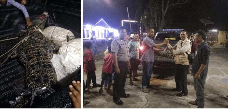 Balai Besar KSDA Sumut Evakuasi Buaya di Kecamatan Natal, Kabupaten Madina