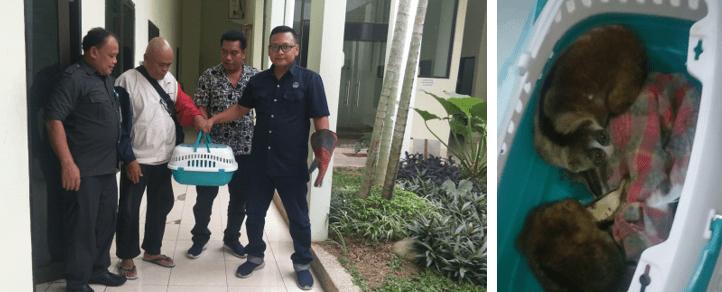 Warga Binjai Serahkan Kukang ke BBKSDA Sumatera Utara
