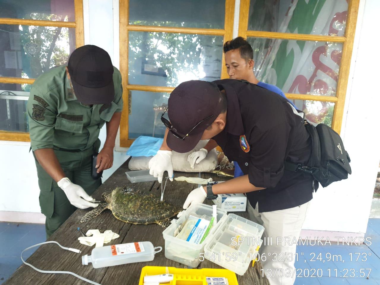 Penyelamatan Penyu Terdampar di Pulau Kotok Besar