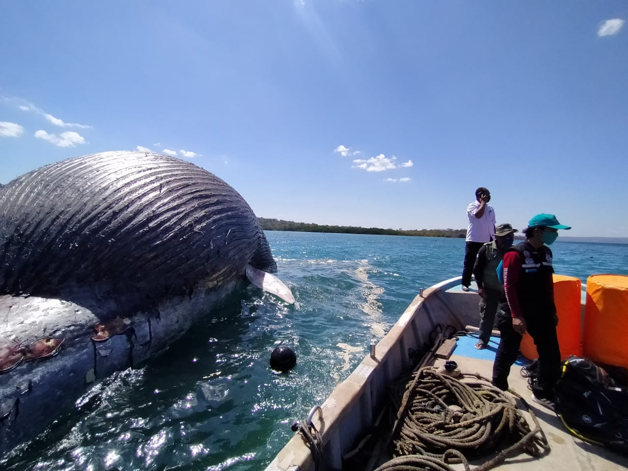 Upaya Penanganan Paus Biru yang Mati dan Terdampar di Perairan Teluk Kupang