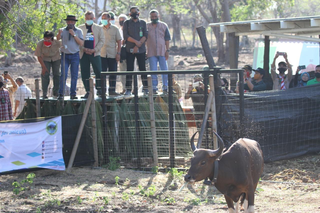 Pertama di Indonesia, Banteng Hasil Perkembangbiakan Eksitu Kembali ke Habitat Alaminya
