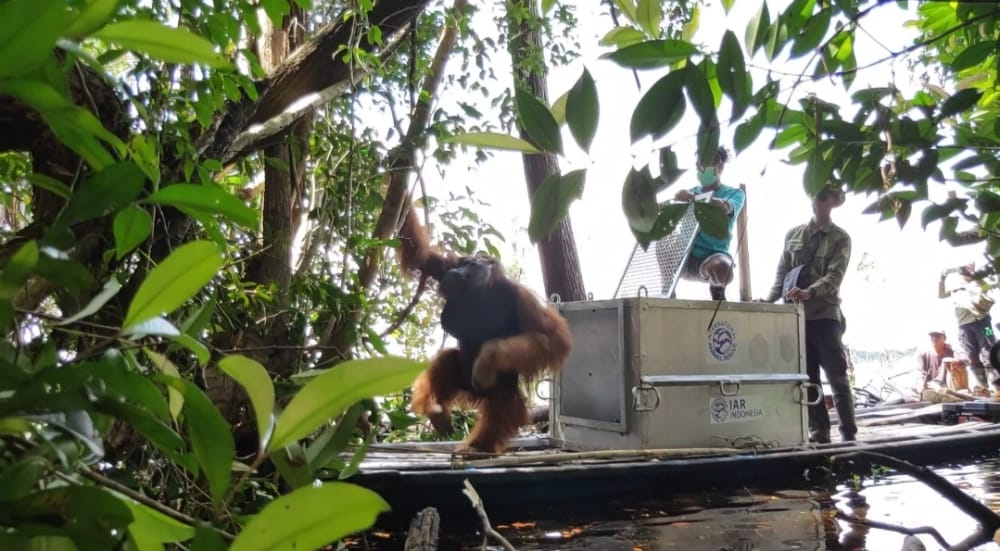 BKSDA Kalimantan Barat Selamatkan Orangutan