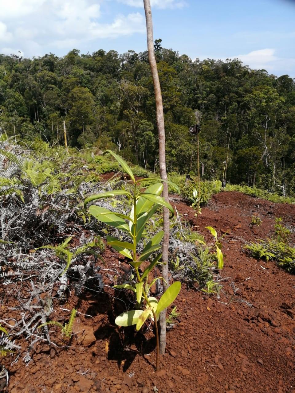 Balada Pemulihan Ekosistem di Kawasan Cagar Alam Pegunungan Cycloop