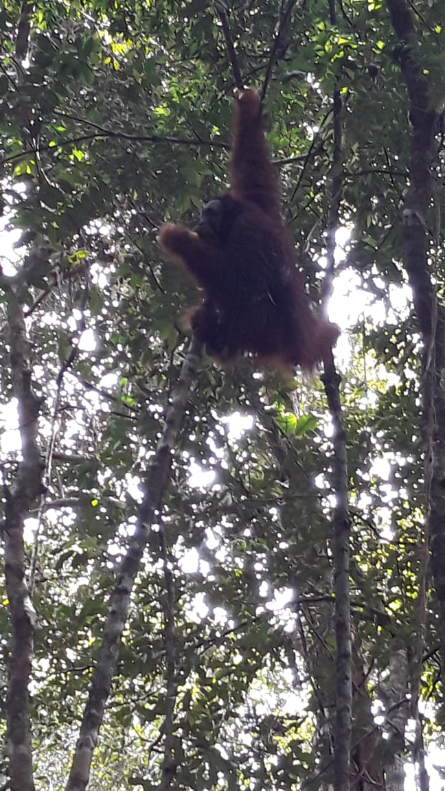 Pelepasliaran Orangutan di Kawasan TN Bukit Tiga Puluh