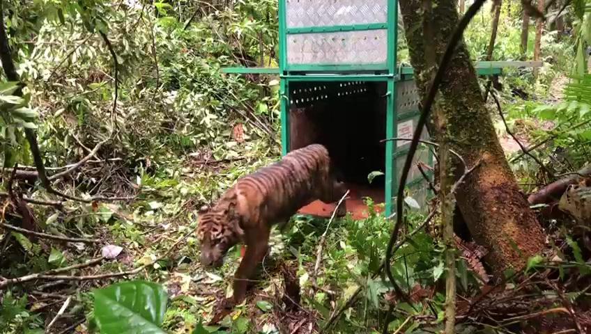 Pelepasliaran Harimau Sumatera Kembali ke Habitat Alaminya