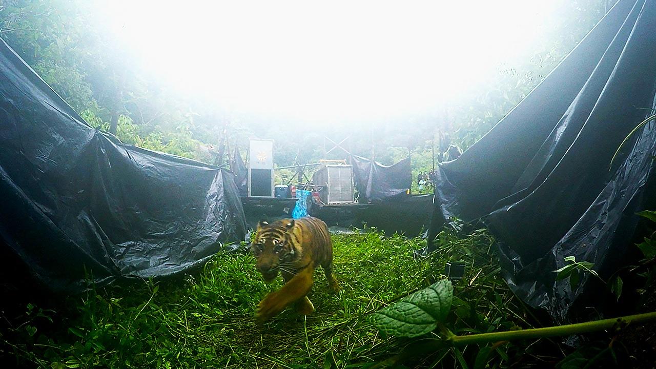 Sepasang Harimau Sumatera Bersaudara Kembali ke Habitat Alaminya