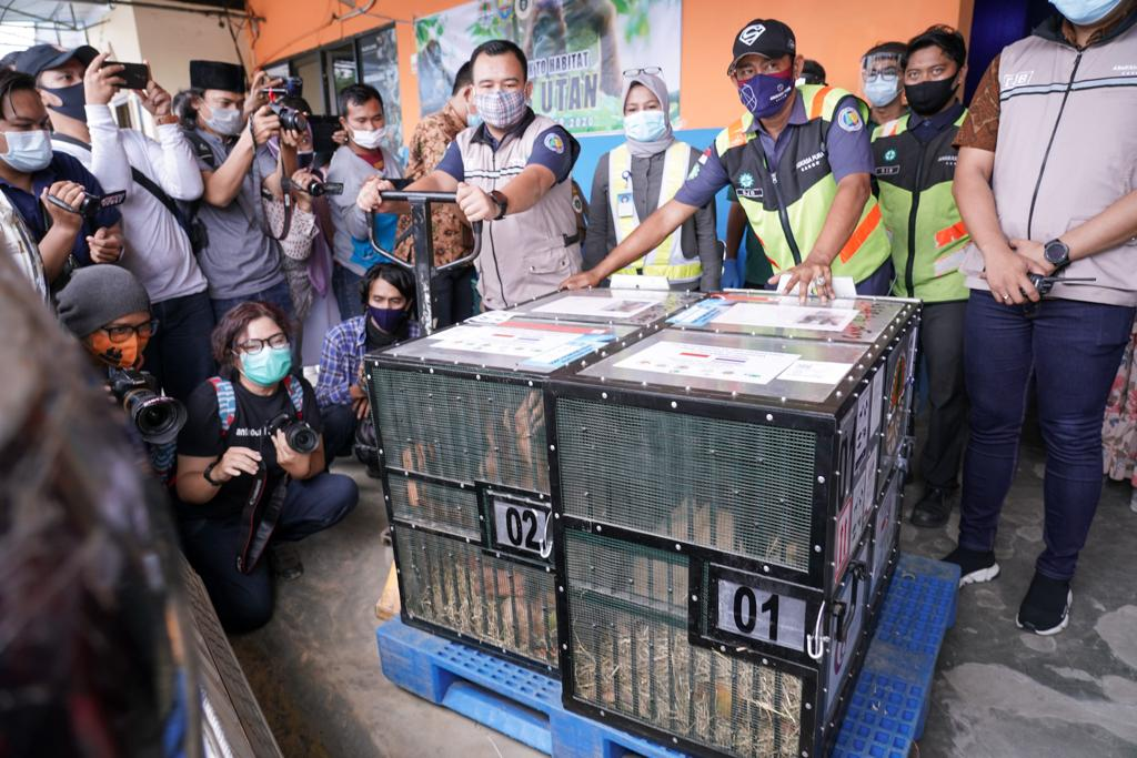 Sebelas Orangutan Sumatra Hasil Repatriasi Sampai Di Sumatera Utara Dan Jambi