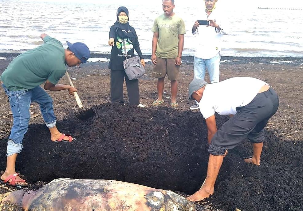 BBKSDA Riau Evakuasi Bangkai Duyung