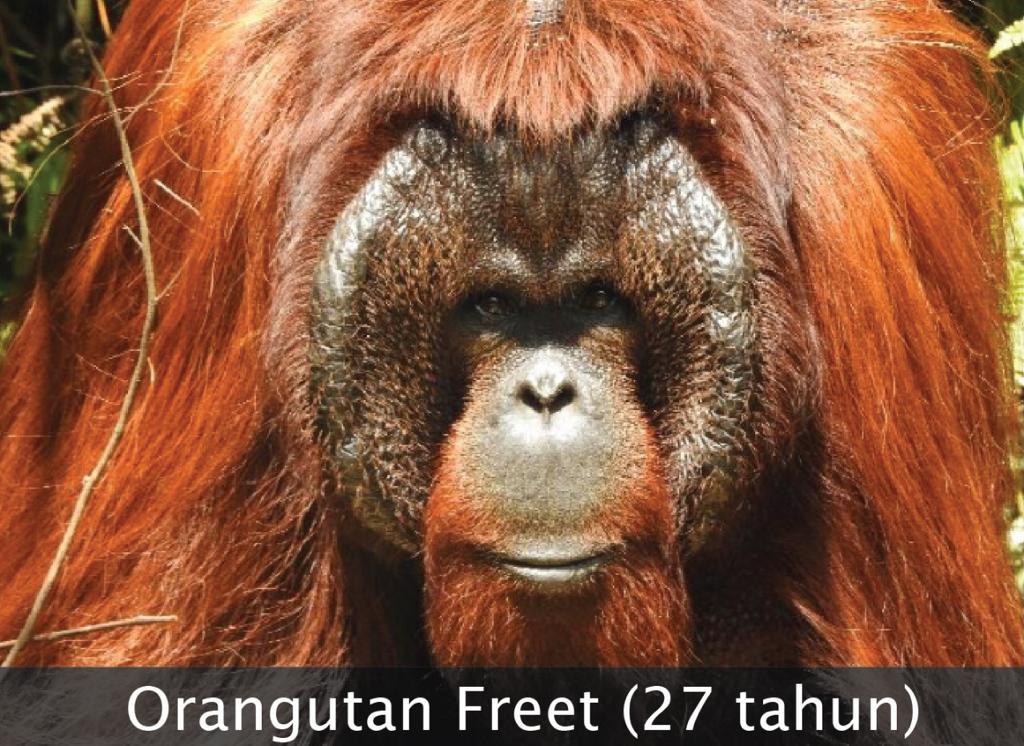 Pelepasliaran 3 Individu Orangutan Di Kalimantan Timur