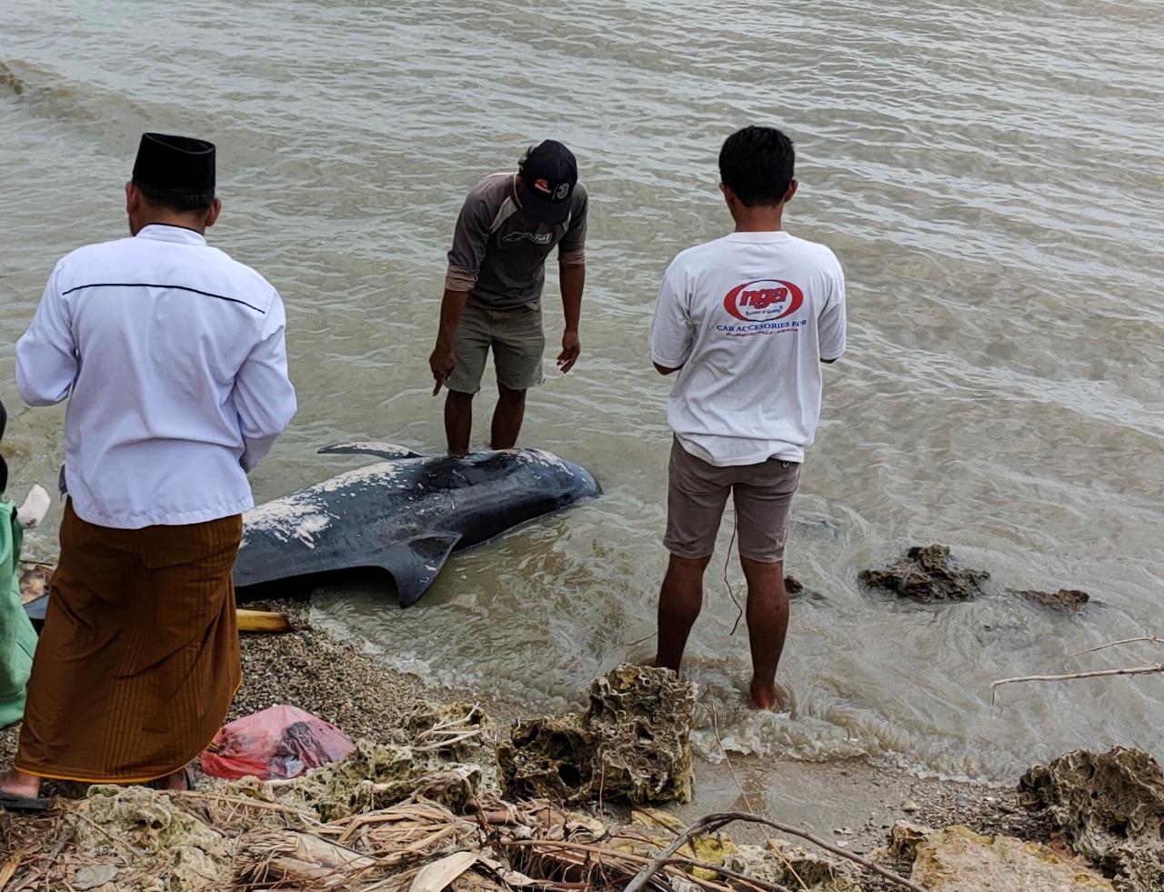 Penanganan Paus Pilot Terdampar Di Pantai Madura