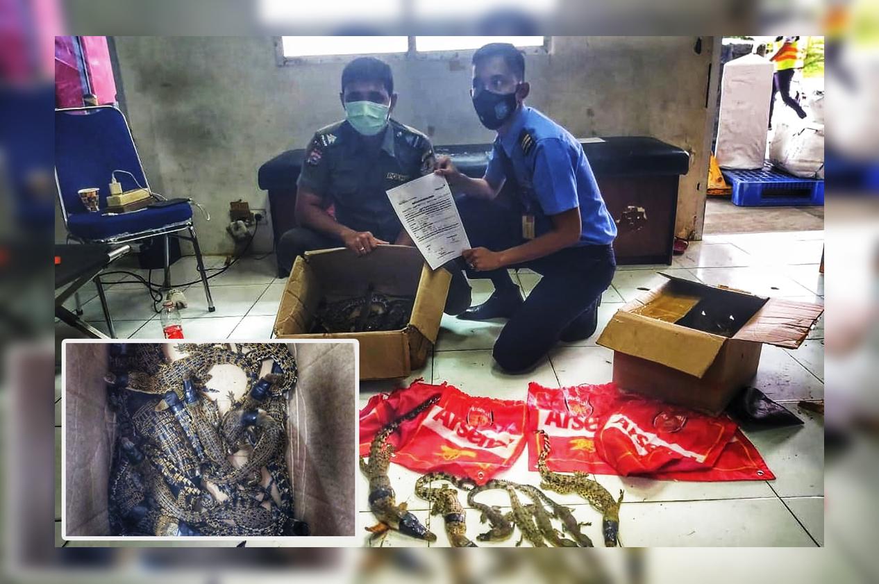 BBKSDA Riau-AVSEC Gagalkan Pengiriman 22 Ekor Buaya Muara