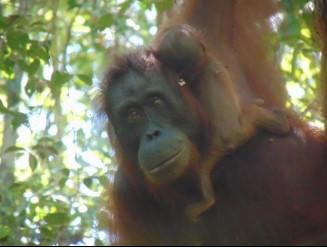 Suaka Margasatwa Lamandau Kembali Kabarkan Kelahiran Orangutan