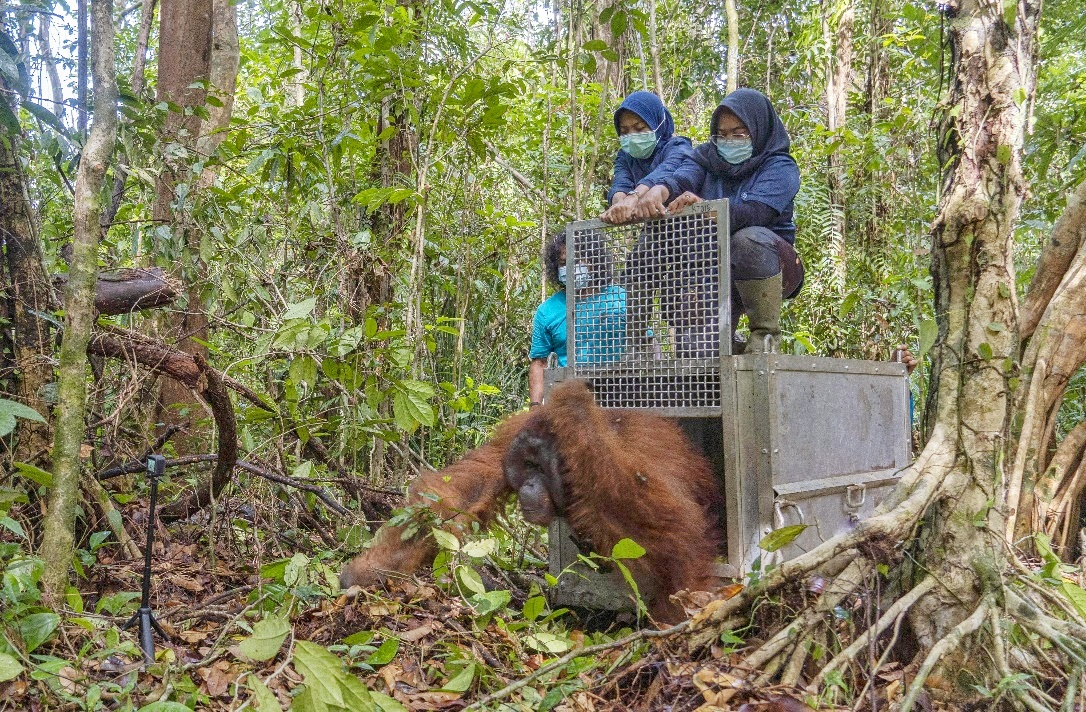 Tanagupa Kembali Menjadi Rumah Bagi Orangutan