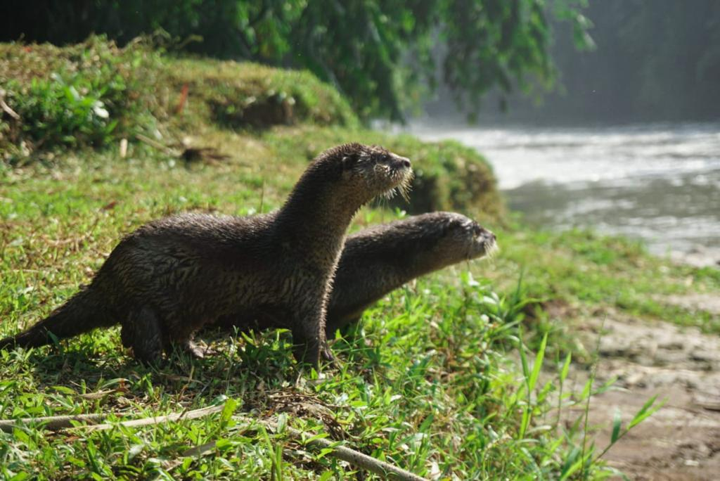 Pelepasliaran Tiga Individu Berang-Berang di Sungai Ciliwung