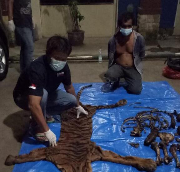 KLHK Tangkap Penjual Kulit dan Tulang Harimau Sumatera di Bengkulu