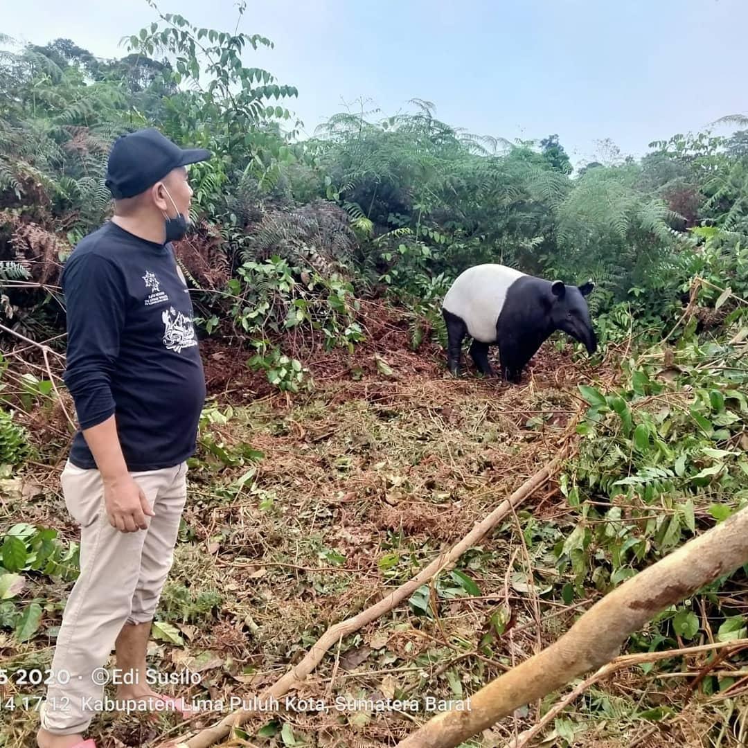 Bersama Masyarakat, BKSDA Sumbar Berhasil Lepaskan Tapir yang Terjerat