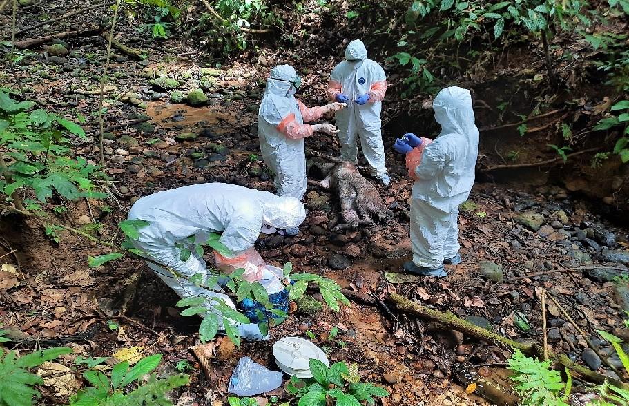 Terjangkit Virus African Swine Fever (ASF), Babi Hutan di TWA Seblat Ditemukan Mati
