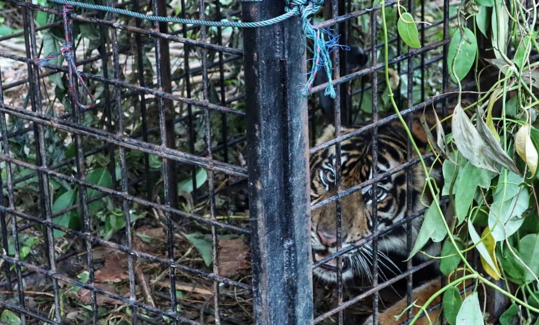 Kronologis Tertangkapnya Harimau Teluk Lanus