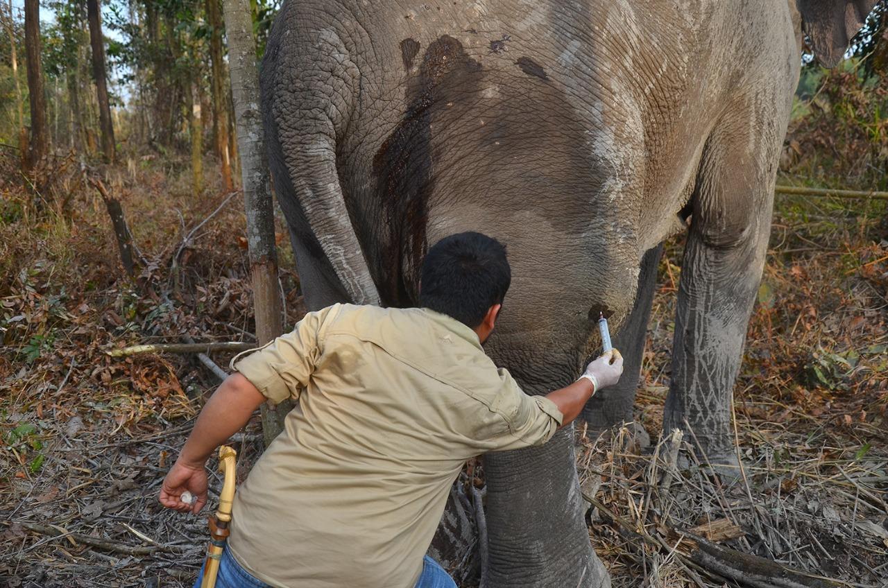 Pengobatan Gajah Liar di Alam Liar