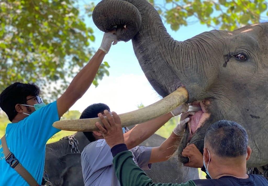 Tujuh Belas Gajah PLG Minas Lakukan Pemeriksaan Kesehatan