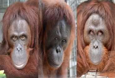 Pelepasliaran Pertama di Tahun 2020: Tiga Orangutan Kembali ke Habitat