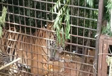 Upaya Evakuasi Harimau sumatera di Muara Enim Sumatera Selatan Membuahkan Hasil