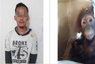 KLHK Tangkap Pelaku Perburuan dan Perdagangan Orangutan di Aceh