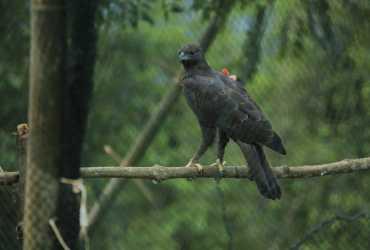 Dua Elang Terbang Kembali ke Rumahnya di Hutan TN Gunung Halimun Salak