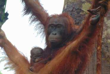 SM Lamandau Kabarkan Kehadiran Anggota Baru, Satu Kelahiran dan Empat Kehamilan Orangutan