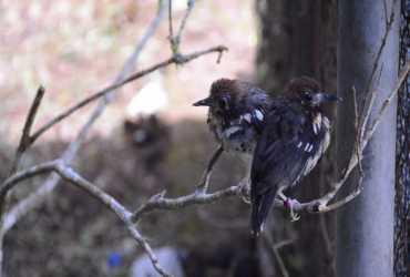 Pelepasliaran Burung Anis Kembang di TWA Ruteng Berbasis 3 Pilar