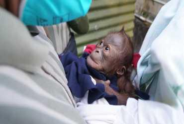 Kelahiran Bayi Orangutan Menambah Koleksi GL Zoo
