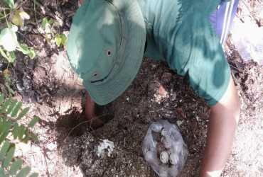 122 Telur Penyu Diselamatkan Petugas RPTN Bama