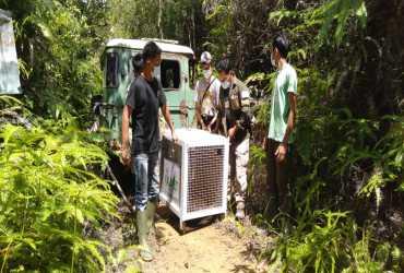Setelah Berkonflik, Akhirnya Macan Dahan Dilepasliarkan BKSDA Sumbar